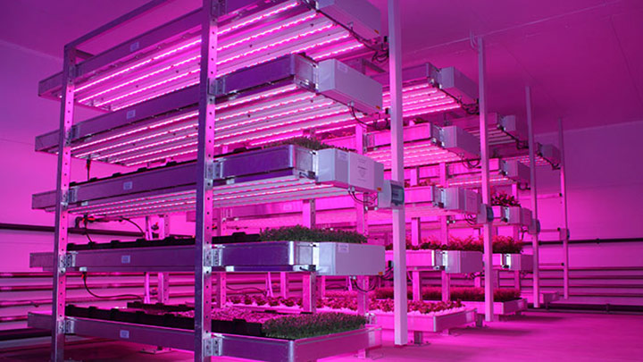 Philips Led lighting illuminated the crops at STC