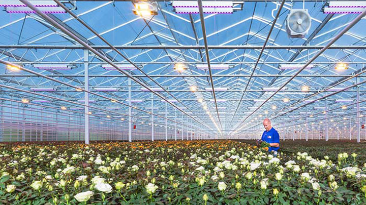 Total control over heat and light by Philips Lighting booms plant production in Leo van der Harg BV, The Netherlands